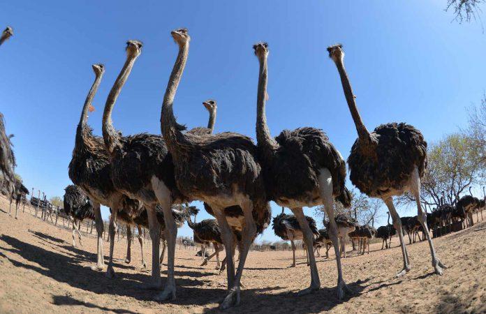 local ostrich farmers